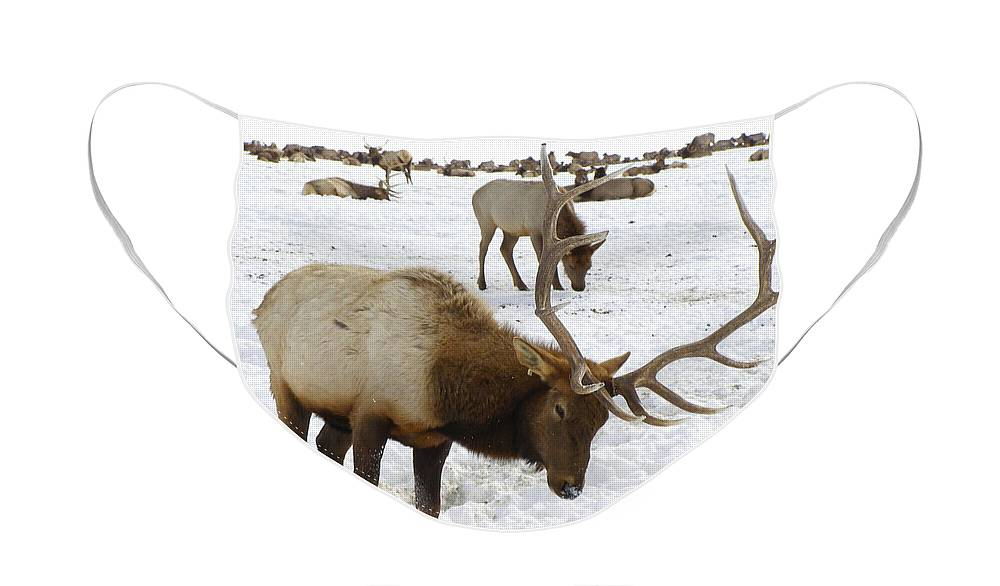 Elk Face Mask featuring the photograph Pawing For Food by DeeLon Merritt
