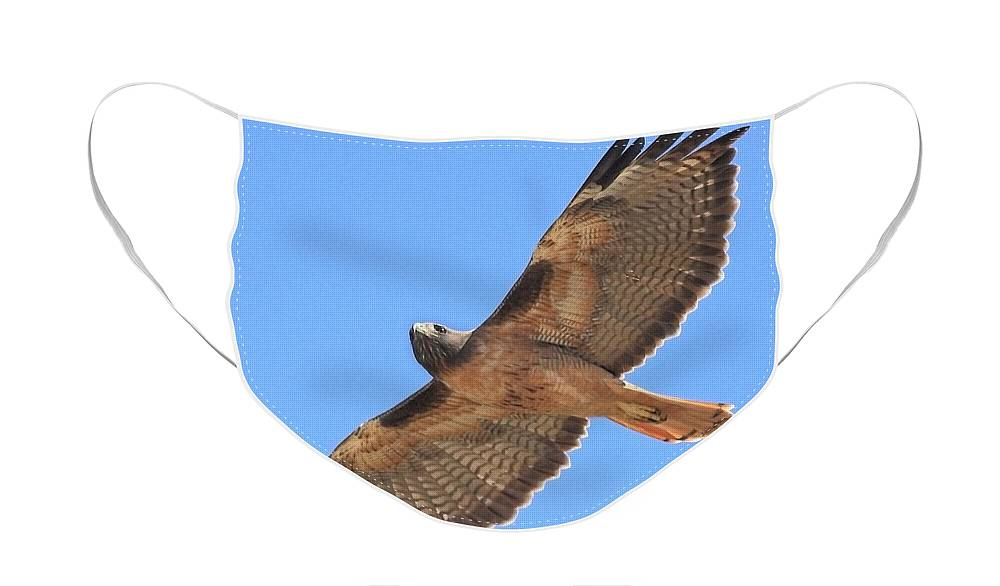 Red Tail Hawk Face Mask featuring the photograph Red Tailed Hawk in flight by Wingsdomain Art and Photography