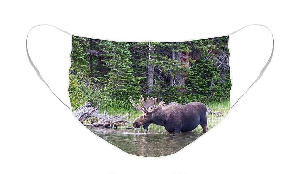 Moose Face Mask featuring the photograph Water Feeding Moose by James BO Insogna