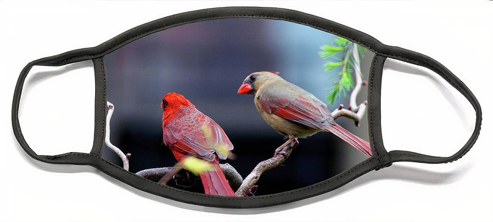 Female Northern Cardinal Face Mask featuring the photograph Cardinal Love 3 by Patricia Youngquist