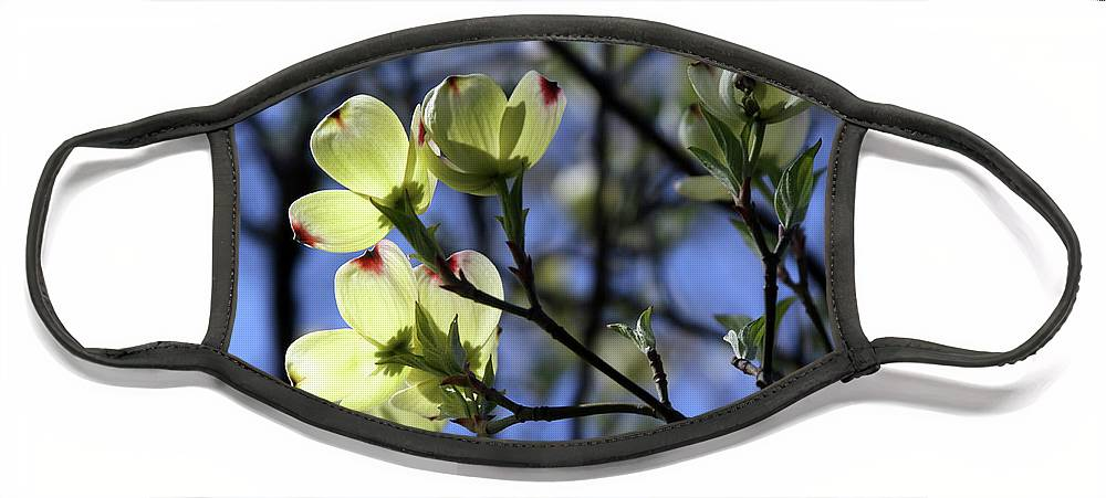 Dogwood Tree Face Mask featuring the photograph Dogwood in Sunlight by John Lautermilch