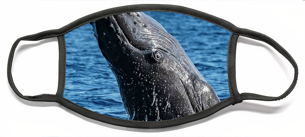 00595515 Face Mask featuring the photograph Juvenlie Humpback Breaching by Flip Nicklin