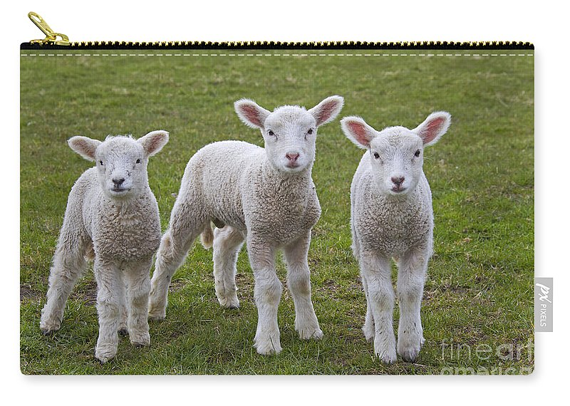Domestic Sheep Carry-all Pouch featuring the photograph 130201p089 by Arterra Picture Library