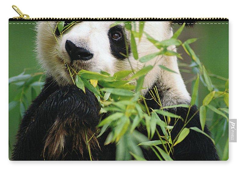 Ailuropoda Melanoleuca Carry-all Pouch featuring the photograph Giant Panda Ailuropoda Melanoleuca by Gerry Ellis