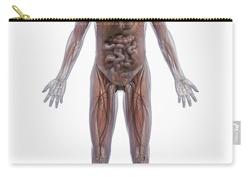 Transparent Carry-all Pouch featuring the photograph Internal Human Anatomy by Science Picture Co
