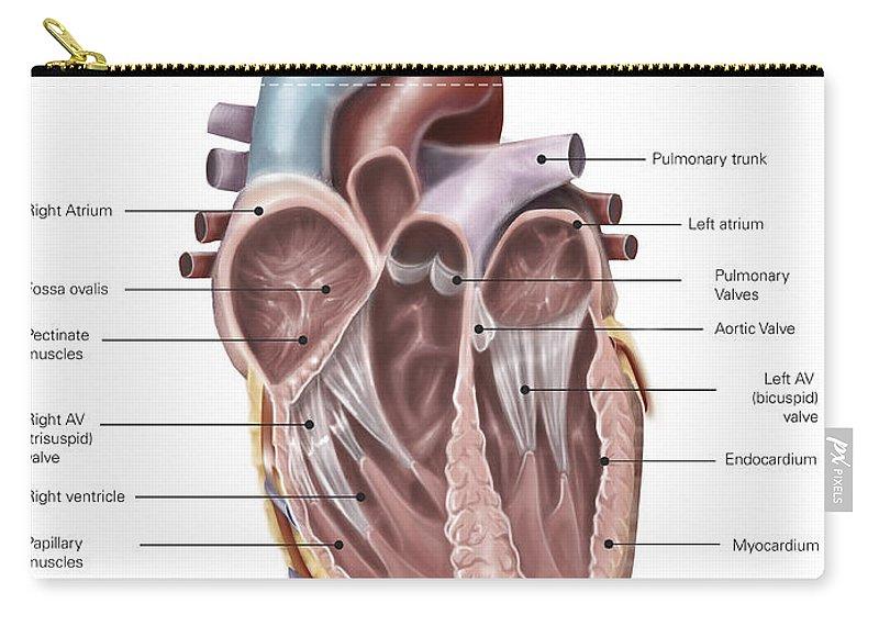 Internal View Of The Human Heart Carry-all Pouch for Sale by Alan Gesek
