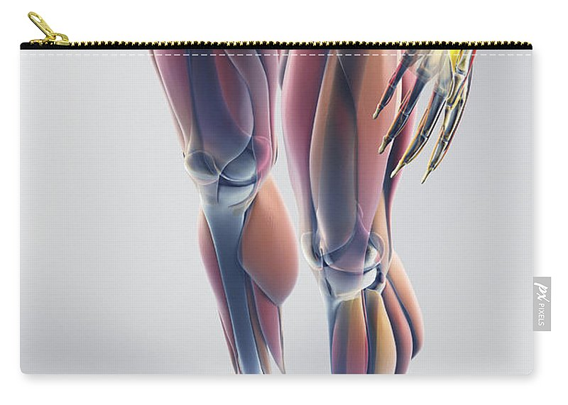 Grey Background Carry-all Pouch featuring the photograph Muscles Of The Lower Body by Science Picture Co