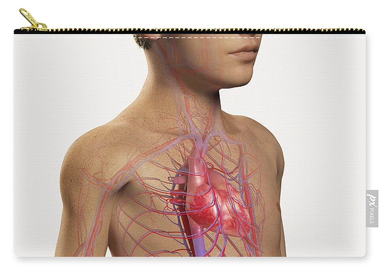 Transparency Carry-all Pouch featuring the photograph The Cardiovascular System Pre-adolescent by Science Picture Co