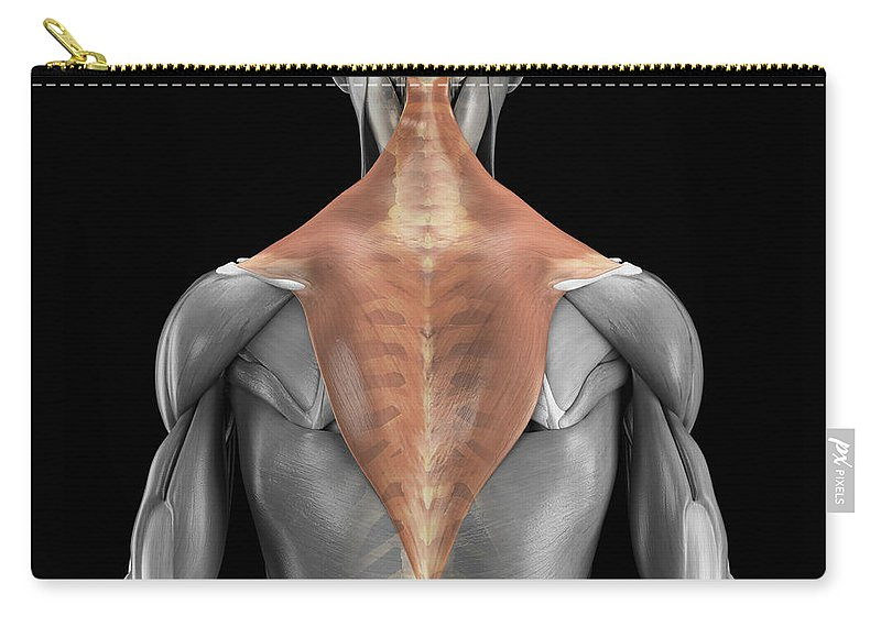 3d Visualisation Carry-all Pouch featuring the photograph Trapezius Muscle With Skeleton by Science Picture Co