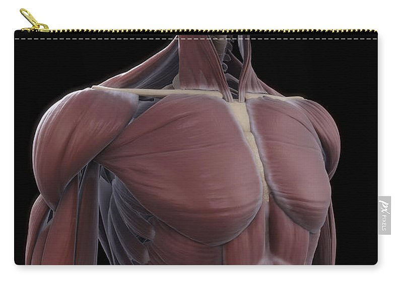 Abdominal Carry-all Pouch featuring the photograph Muscles Of The Upper Body by Science Picture Co