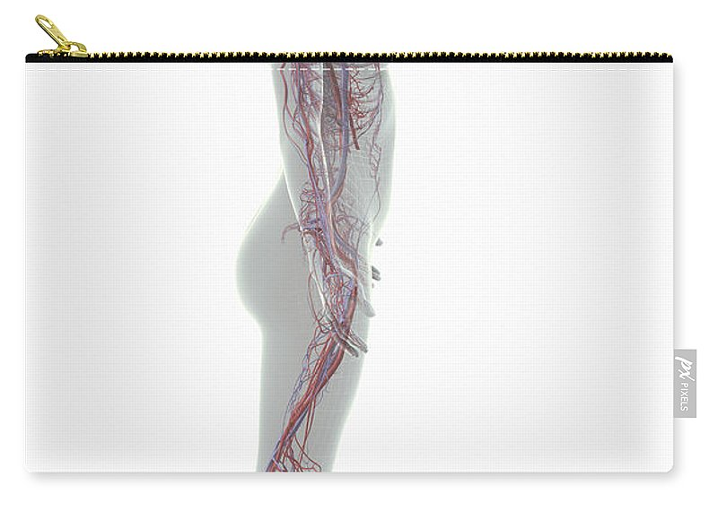 Arteries Carry-all Pouch featuring the photograph The Cardiovascular System Female by Science Picture Co
