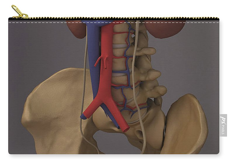 Skeleton Carry-all Pouch featuring the photograph The Renal System by Science Picture Co