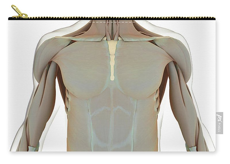 Transparency Carry-all Pouch featuring the photograph The Muscle System by Science Picture Co