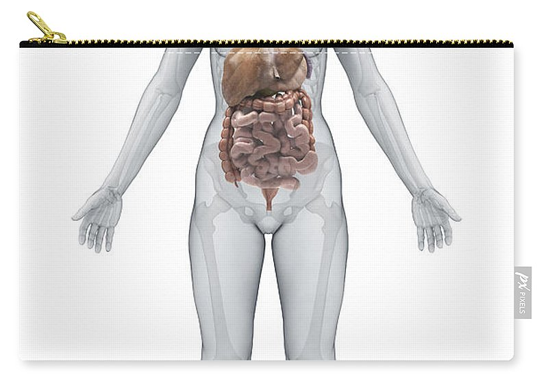 Ascending Colon Carry-all Pouch featuring the photograph Digestive System Female by Science Picture Co