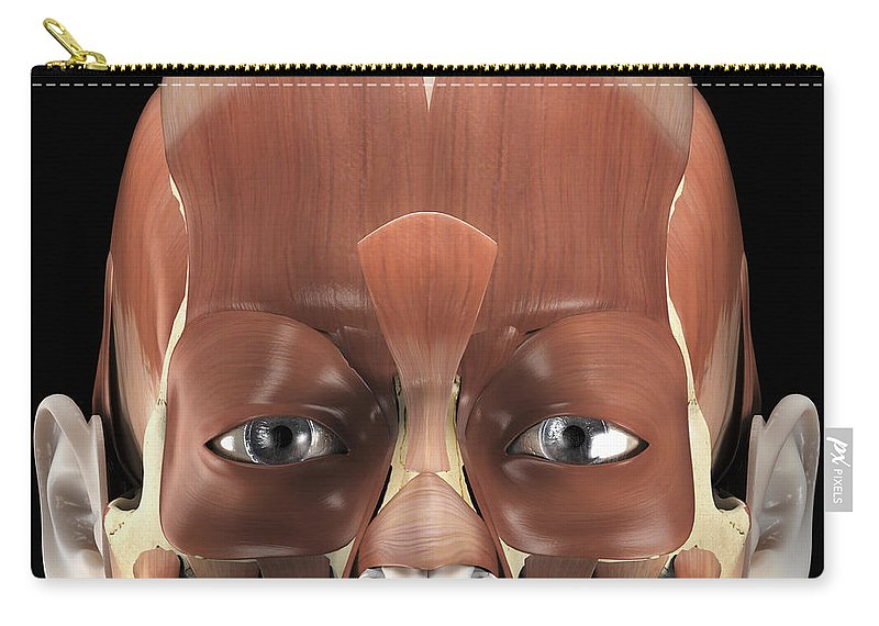 Muscular System Carry-all Pouch featuring the photograph Muscles Of The Face by Science Picture Co
