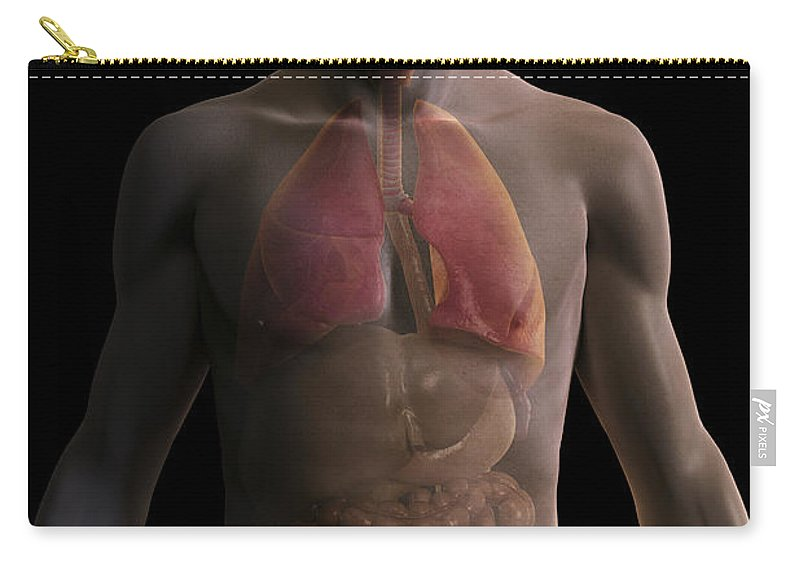 Abdominal Organ Carry-all Pouch featuring the photograph The Respiratory And Digestive Systems by Science Picture Co