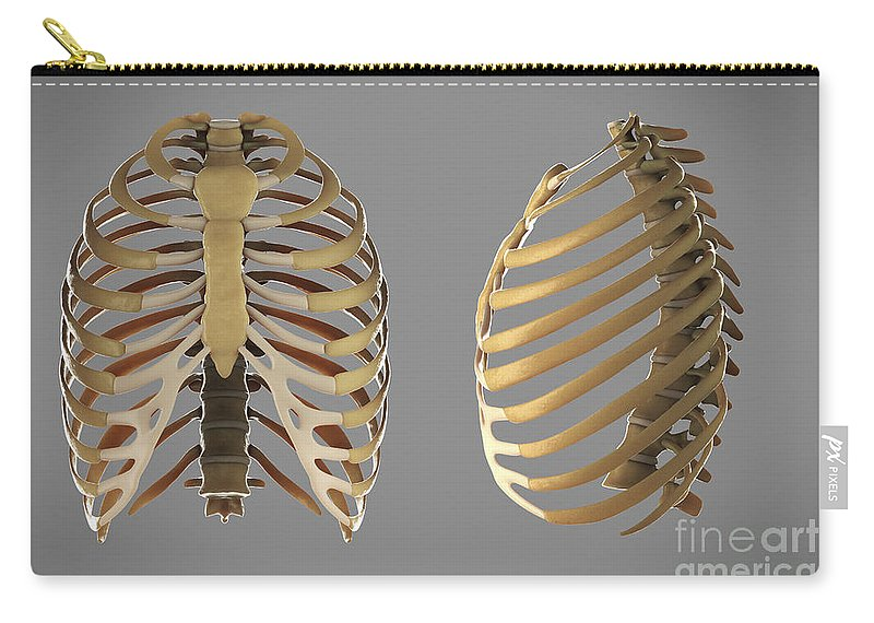 Anatomical Model Carry-all Pouch featuring the photograph Thoracic Cage by Science Picture Co