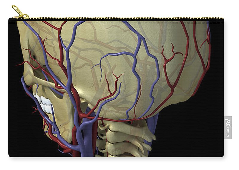 Blood Vessels Carry-all Pouch featuring the photograph The Cardiovascular System by Science Picture Co