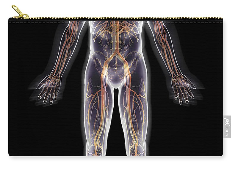 Axillary Artery Carry-all Pouch featuring the photograph The Cardiovascular System by Science Picture Co