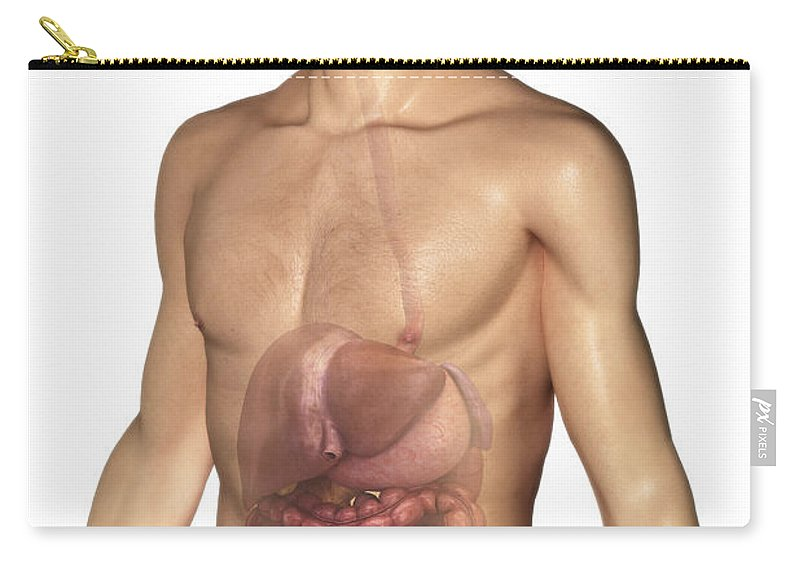 Abdominal Carry-all Pouch featuring the photograph The Digestive System by Science Picture Co