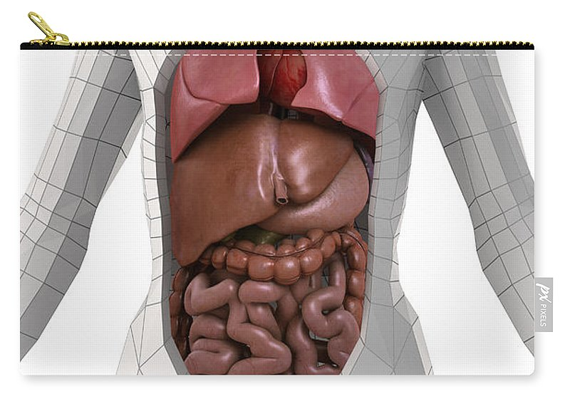 Internal Organs Carry-all Pouch featuring the photograph Human Anatomy by Science Picture Co