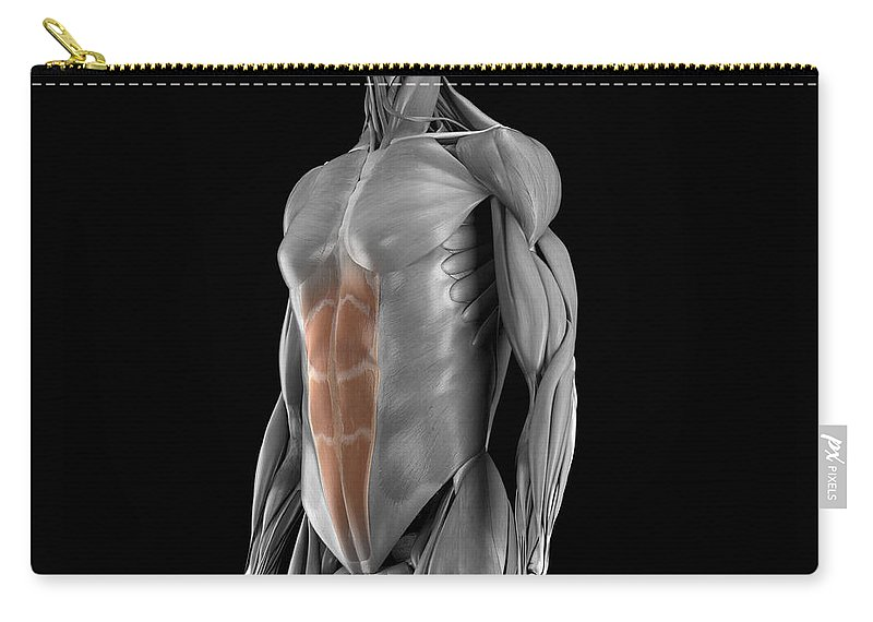 3d Visualisation Carry-all Pouch featuring the photograph Abdominal Muscles by Science Picture Co