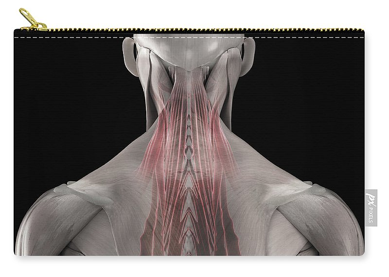 3d Visualization Carry-all Pouch featuring the photograph The Muscles Of The Back by Science Picture Co