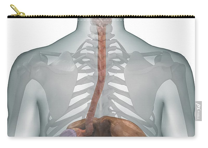 Skeleton Carry-all Pouch featuring the photograph The Digestive System by Science Picture Co