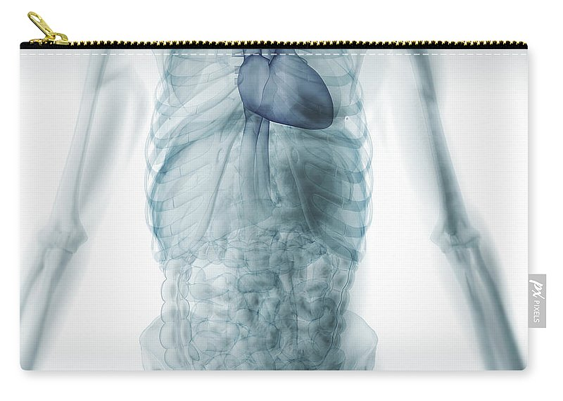 Anatomical Model Carry-all Pouch featuring the photograph Human Anatomy by Science Picture Co
