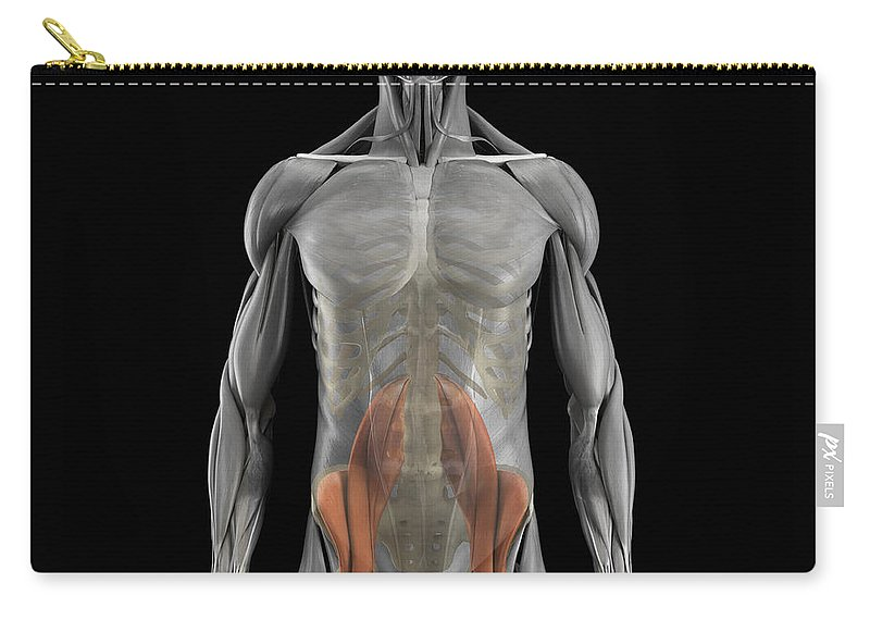 Transparent Carry-all Pouch featuring the photograph The Psoas Muscles by Science Picture Co
