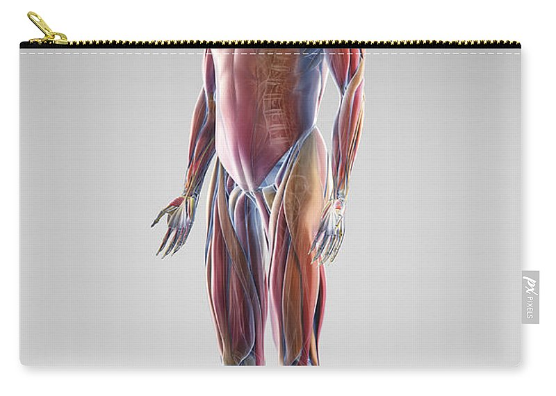 Digitally Generated Image Carry-all Pouch featuring the photograph Muscle System by Science Picture Co