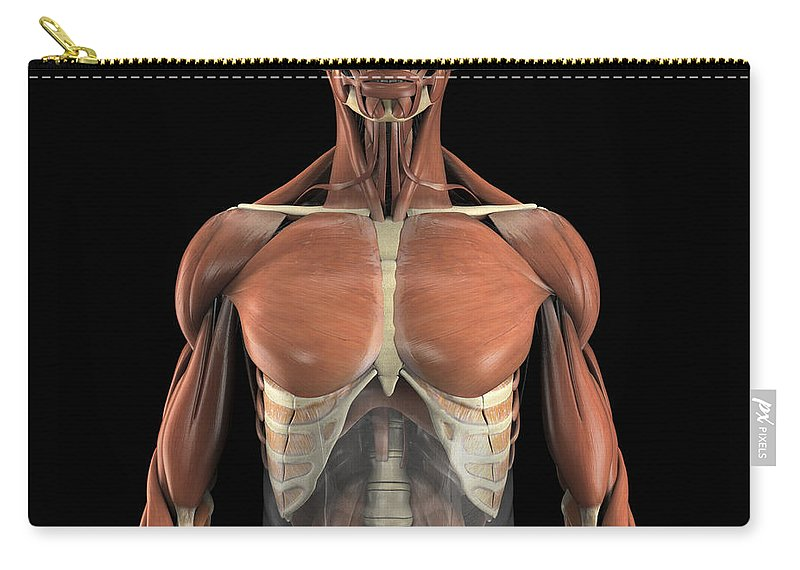 Digitally Generated Image Carry-all Pouch featuring the photograph The Psoas Muscles by Science Picture Co