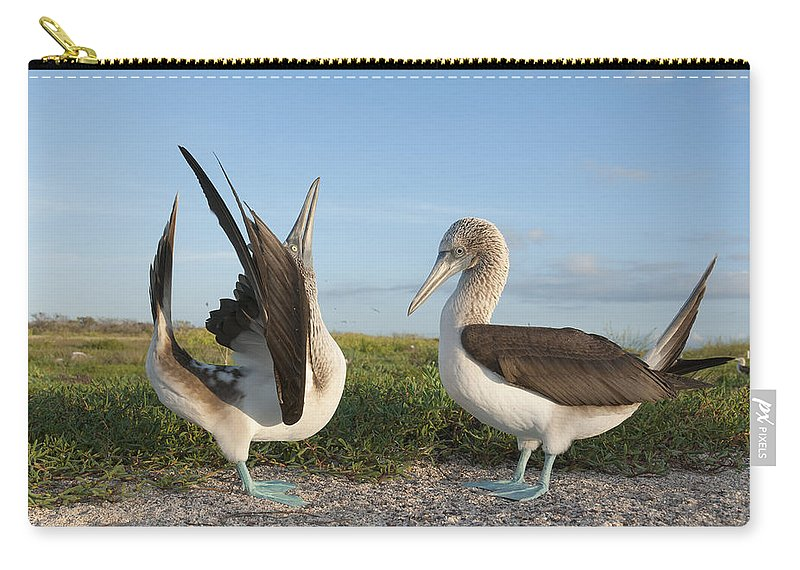 531712 Carry-all Pouch featuring the photograph Blue-footed Booby Pair Courting by Tui De Roy
