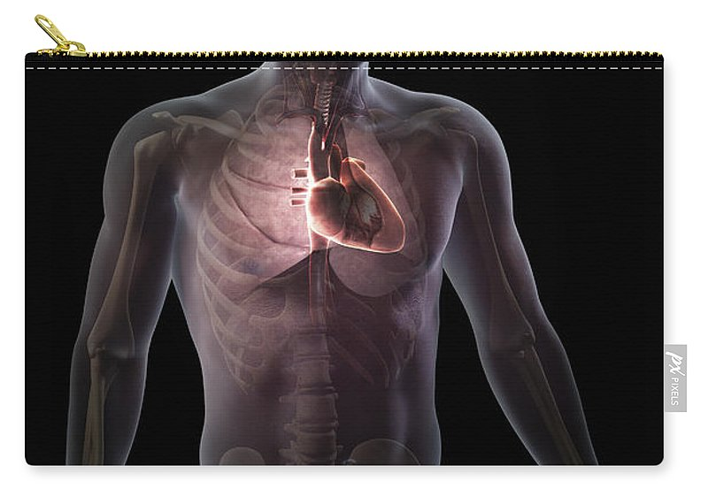 Arteries Carry-all Pouch featuring the photograph Heart Within The Chest by Science Picture Co
