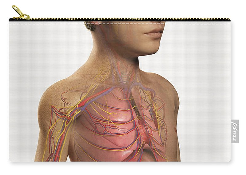 Transparency Carry-all Pouch featuring the photograph Internal Anatomy Pre-adolescent by Science Picture Co