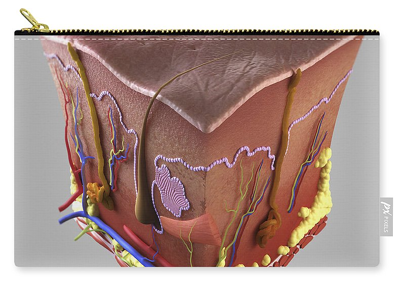 Biomedical Illustration Carry-all Pouch featuring the photograph Anatomy Of Human Skin by Science Picture Co