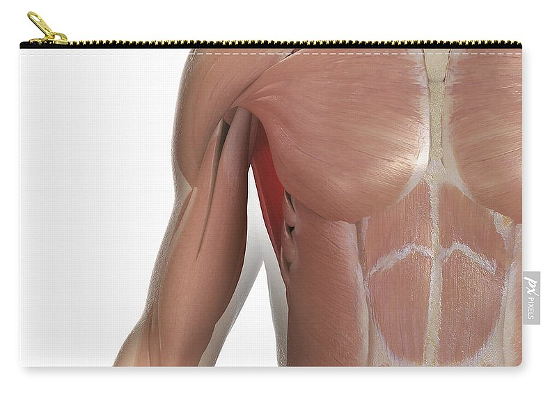 Transparent Carry-all Pouch featuring the photograph Muscles Of The Upper Body by Science Picture Co