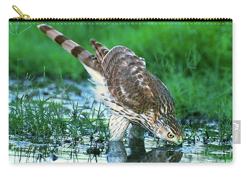Cooper's Hawk Carry-all Pouch featuring the photograph A Wild Juvenile Cooper's Hawk Drinks From A Pond by Dave Welling