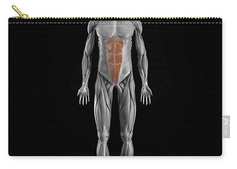 Full View Carry-all Pouch featuring the photograph Abdominal Muscles by Science Picture Co