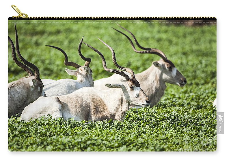 Addax Nasomaculatus Carry-all Pouch featuring the photograph Addax Nasomaculatus by Eyal Bartov