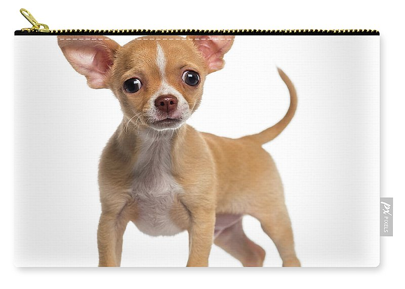 Pets Carry-all Pouch featuring the photograph Alert Chihuahua Puppy 3 Months Old by Life On White