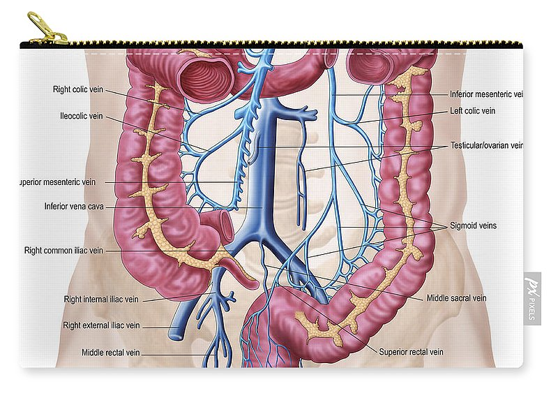 Anatomy Of Human Abdominal Vein System Carry All Pouch For Sale By