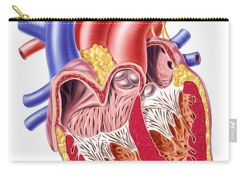 Anatomy Of Human Heart Cross Section Carry All Pouch For Sale By