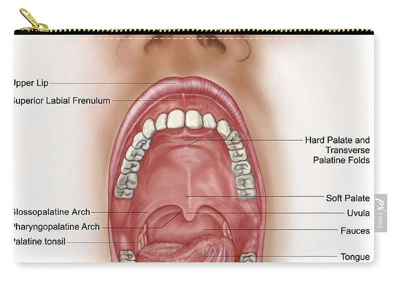 Contemporary The Mouth Anatomy Embellishment Anatomy And