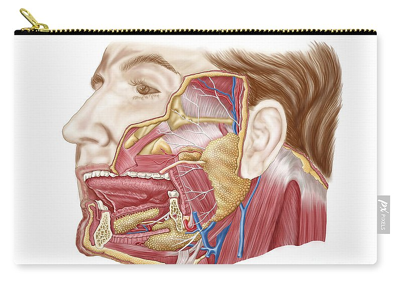 Color Image Carry-all Pouch featuring the digital art Anatomy Of Human Salivary Glands by Stocktrek Images