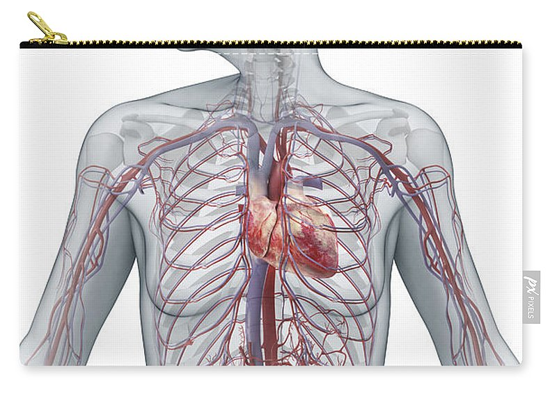 Inferior Vena Cava Carry-all Pouch featuring the photograph Cardiovascular System Female by Science Picture Co