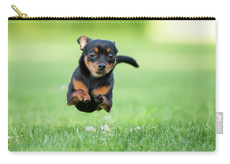 Pets Carry-all Pouch featuring the photograph Chihuahua Dog Running by Purple Collar Pet Photography