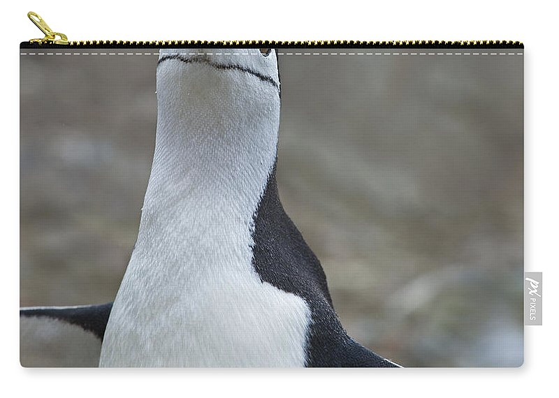 Festblues Carry-all Pouch featuring the photograph Chinstrap Madness... by Nina Stavlund
