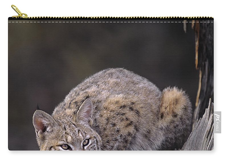 North America Carry-all Pouch featuring the photograph Crouching Bobcat Montana Wildlife by Dave Welling