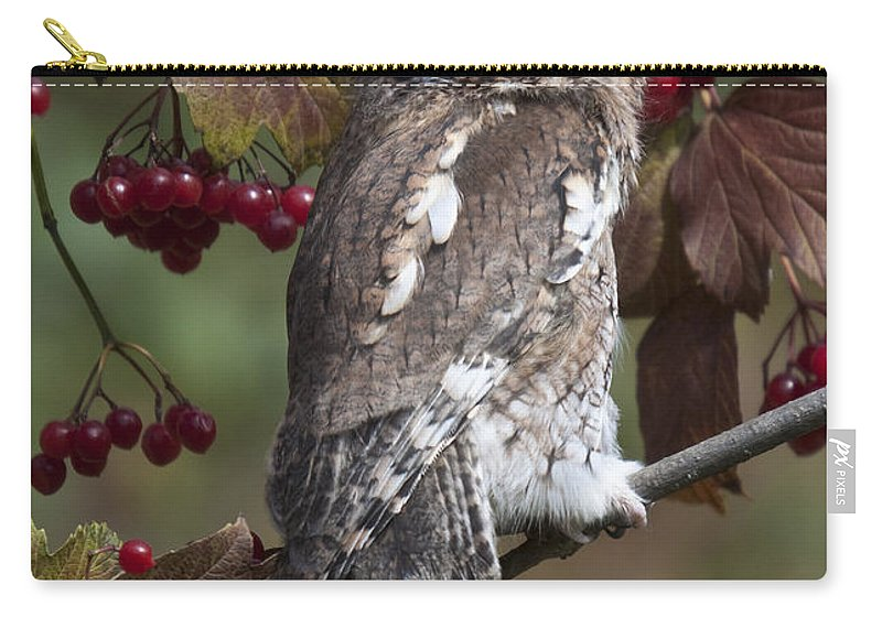 Eastern Screech Owl Carry-all Pouch featuring the photograph Eastern Screech Owl Red And Gray Phases by Paul Cannon